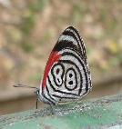 lucky 88 butterfly